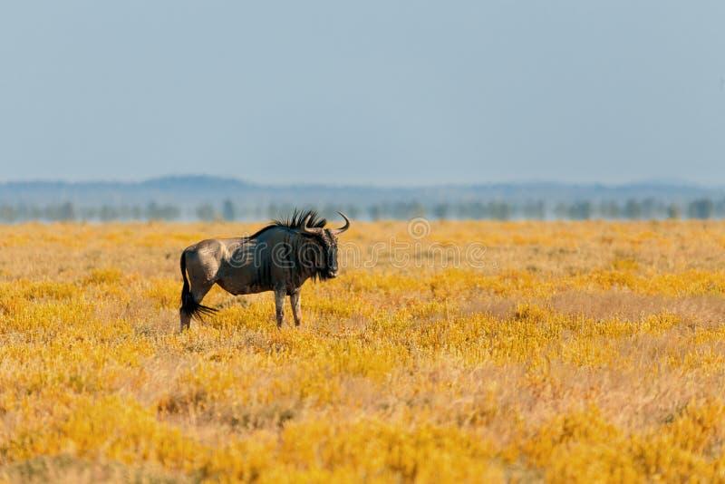 Gnou bleu de gnou, safari de faune de la Namibie Afrique images libres de droits