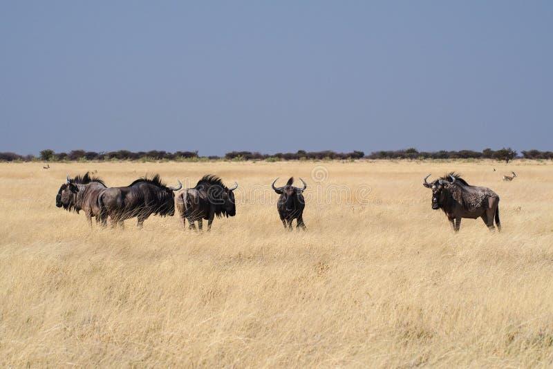 Gnou bleu en parc national d'Etosha, Namibie photo stock