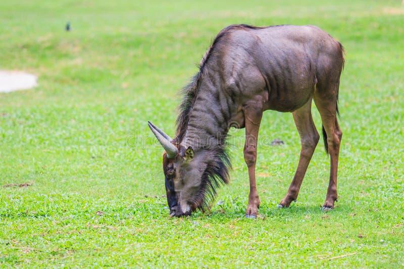 Gnou bleu - Maasai Mara Africa photo stock