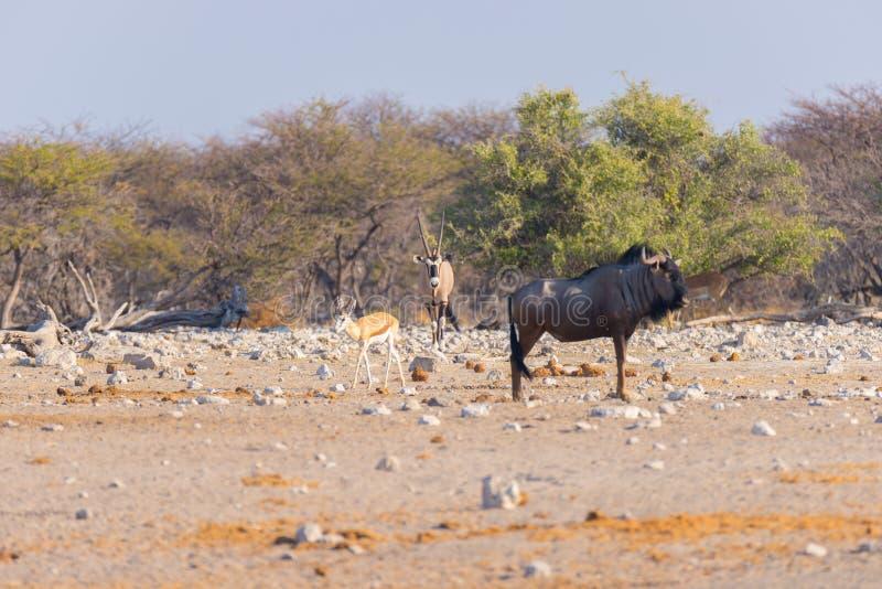 Gnou bleu marchant dans le buisson Safari de faune en parc national d'Etosha, destination célèbre de voyage en Namibie, Afrique photographie stock