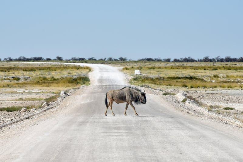 Gnou - Etosha, Namibie images stock