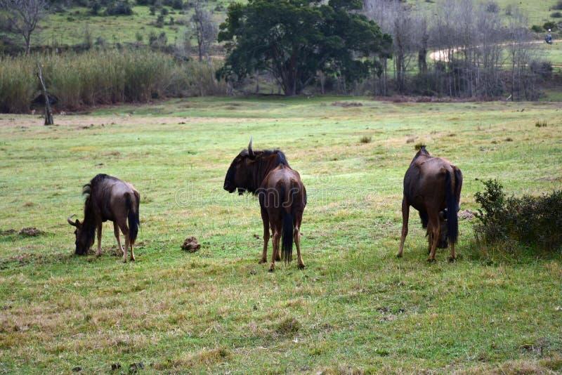Gnou, réservation de Botlierskop, Afrique du Sud photographie stock