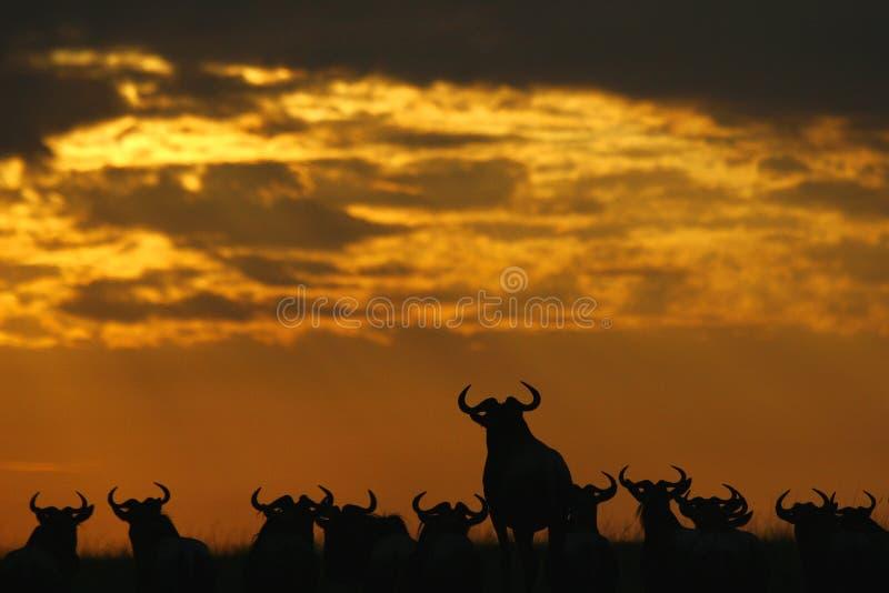 Gnous au coucher du soleil photos libres de droits