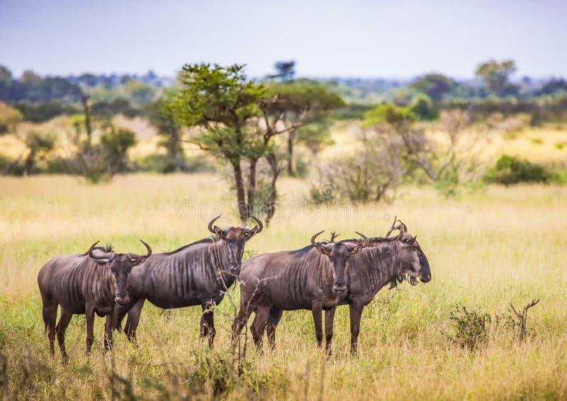 Gnous bleus au parc national de Kruger photographie stock libre de droits