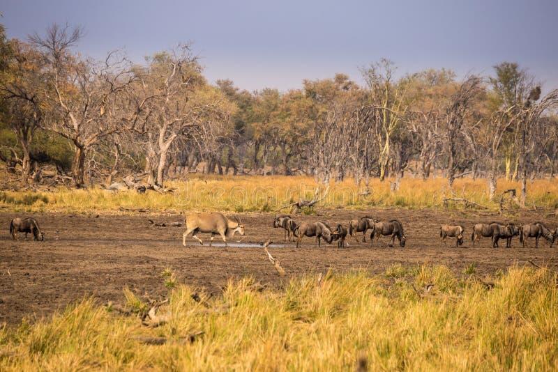 Gnous bleus et éland buvant au trou d'eau en Afrique du Sud, parc de Kruger images libres de droits