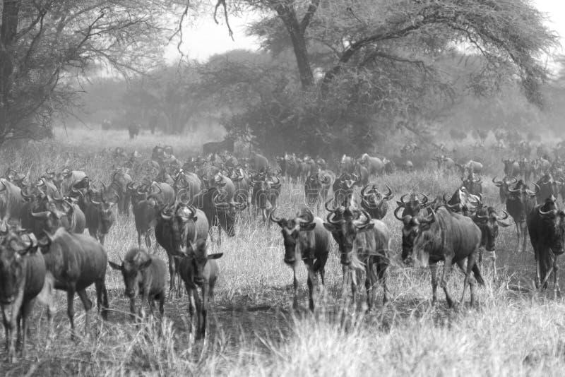 Gnous bleus pendant la grande migration en noir et blanc images libres de droits