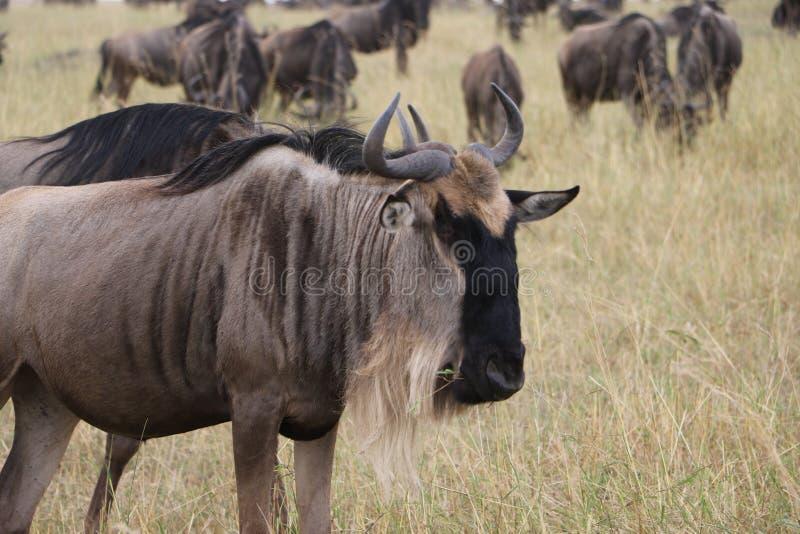 Gnous dans le maasai sauvage Mara images stock