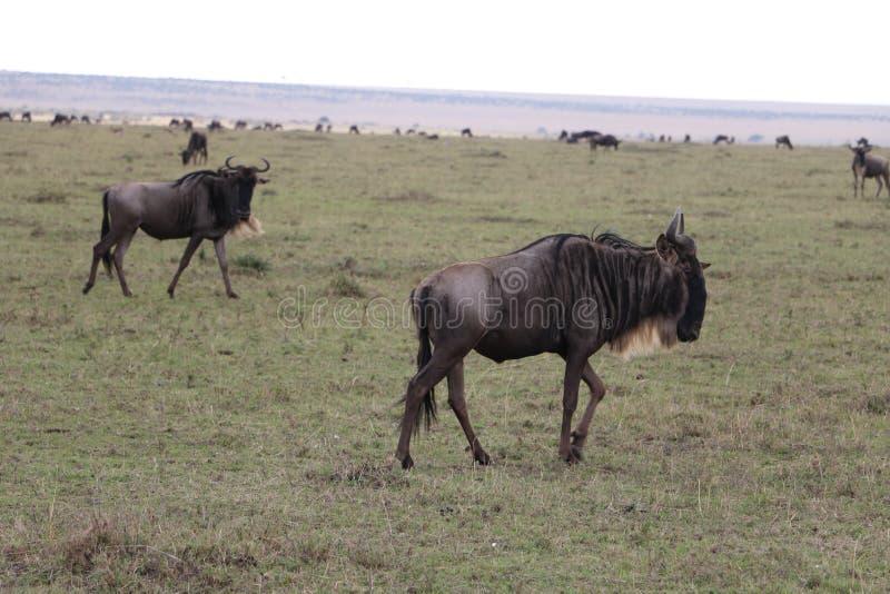 Gnous dans le maasai sauvage Mara image stock