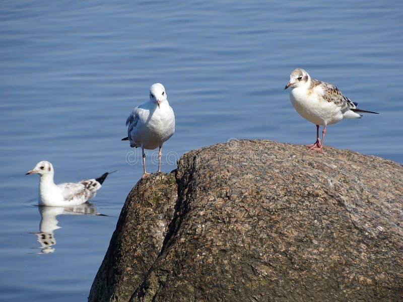 Gnuśni Seagulls na wierzchołku skała obrazy royalty free
