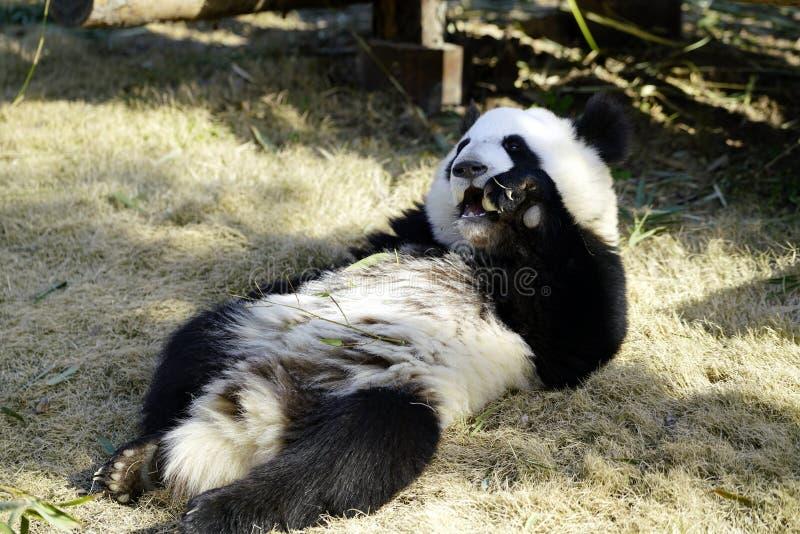 Gnuśna gigantyczna panda je zdjęcie stock