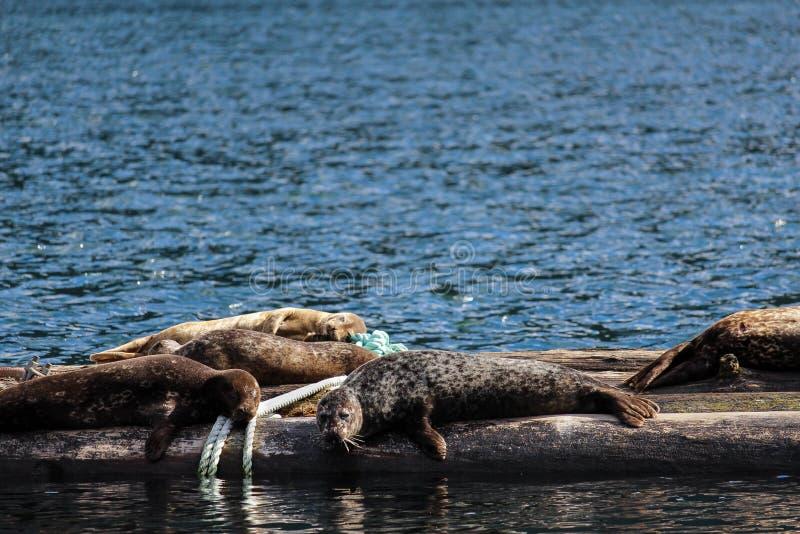 Gnuśne foki obrazy stock