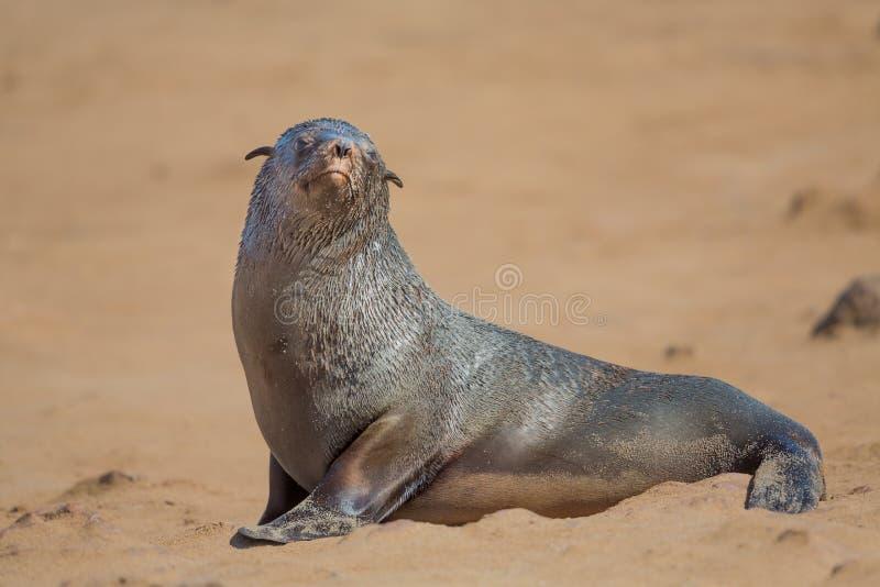 Gnuśny brown futerkowej foki zakończenie up, przylądka krzyż, Namibia fotografia stock