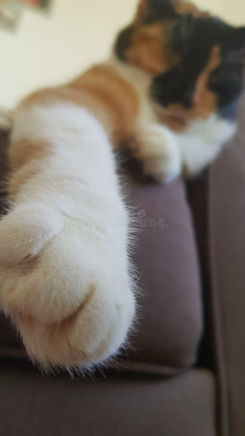 Gnuśny calcio kot i jej łapa zdjęcie royalty free