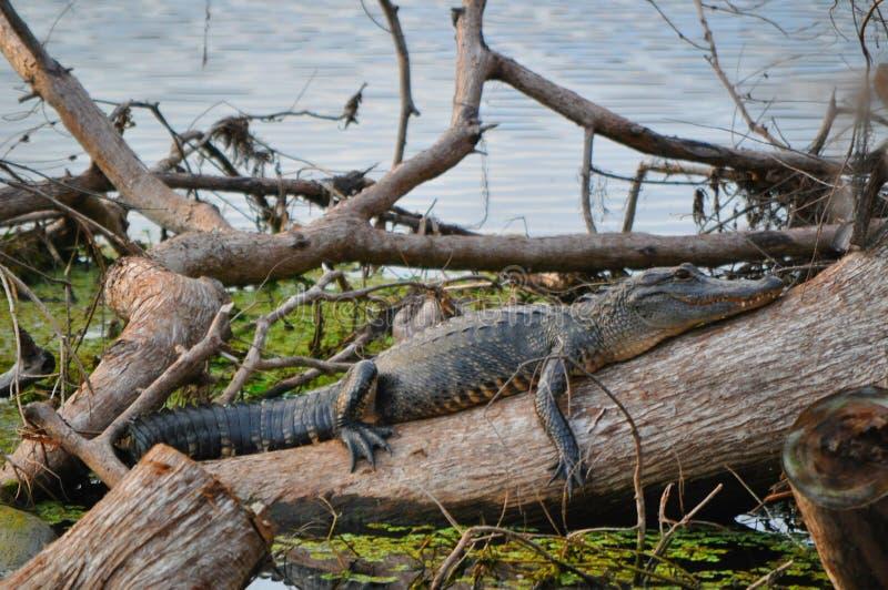 Gnuśny gator fotografia royalty free