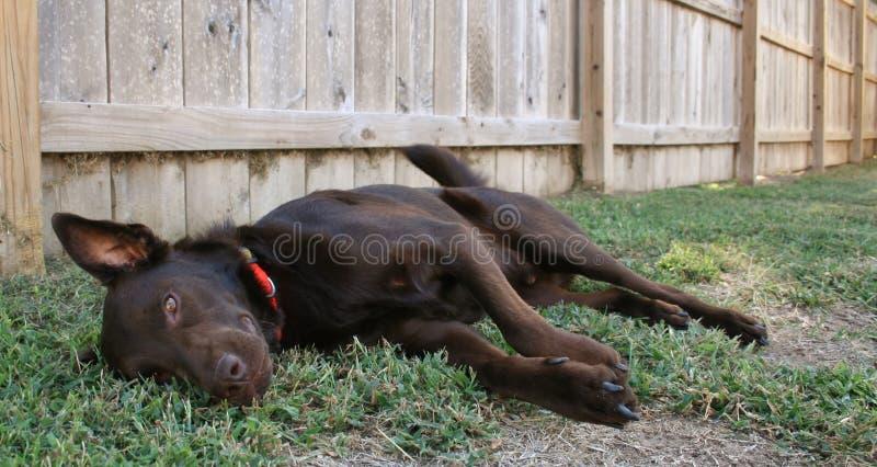 Gnuśny labrador zdjęcie stock