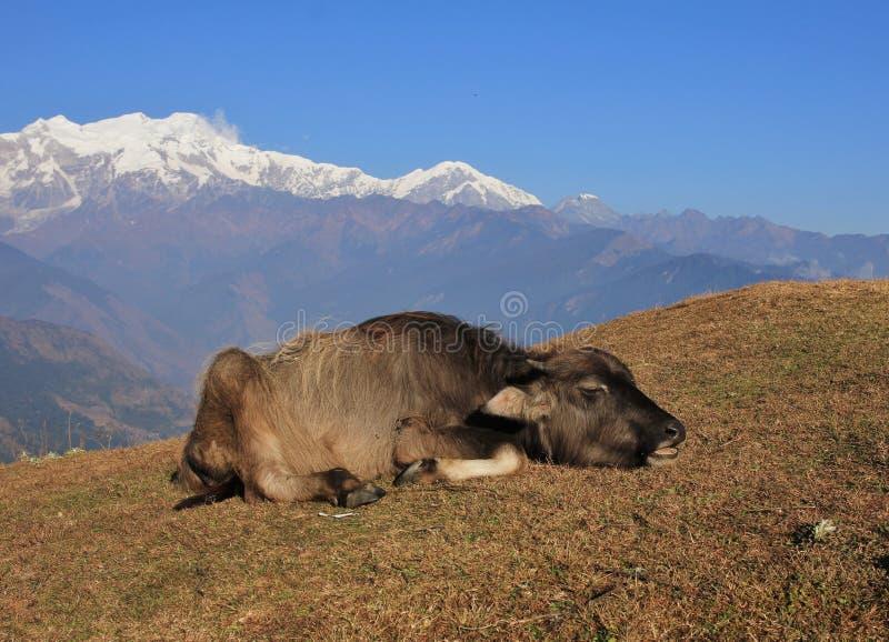 Gnuśny wodnego bizonu dziecko zdjęcia stock