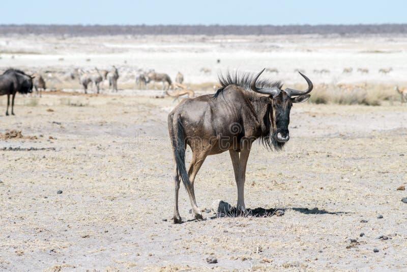 Gnu antelope na pustyni obrazy stock