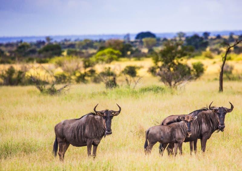 Gnu azuis no parque nacional de Kruger fotos de stock royalty free