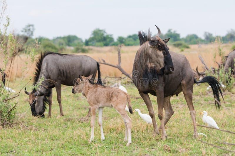 Gnu azul do adulto e da vitela (taurinus do Connochaetes) com catt fotos de stock royalty free