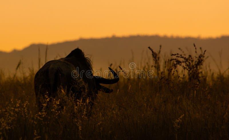 Gnu bei Sonnenuntergang stockbild