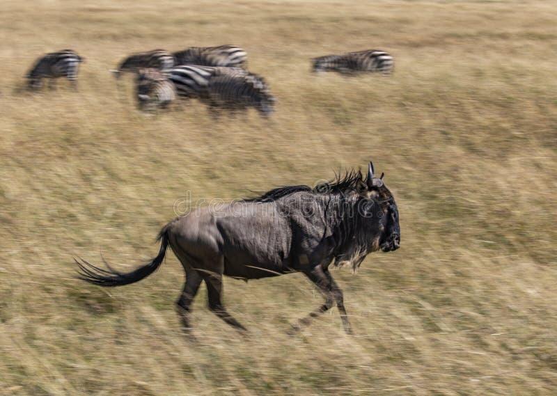 Gnu Connochaetestaurinus som kör i det högväxta gräset av savannahen av Masai Mara, Kenya, med sebran i det suddiga bet royaltyfri bild