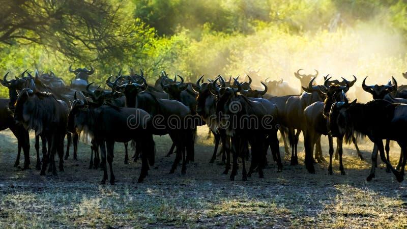 Gnu - gnu - contra o sol da manhã com os pontos claros em chifres em Serengeti fotografia de stock royalty free