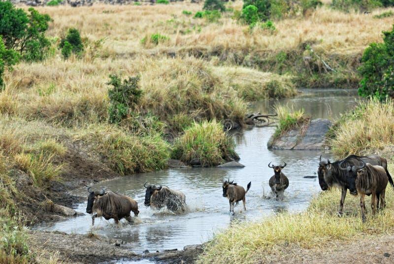 Gnu d'antilopes (wildebeest), Kenya images stock