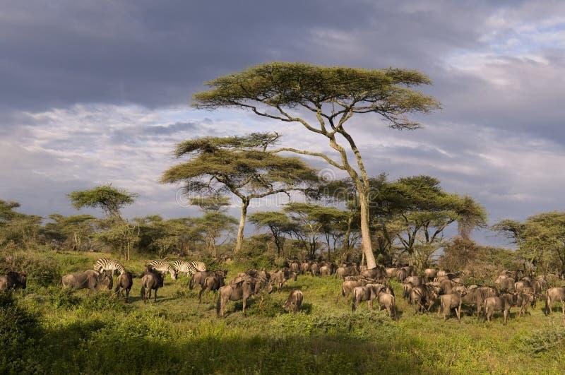 Gnu e zebras fotografia de stock royalty free