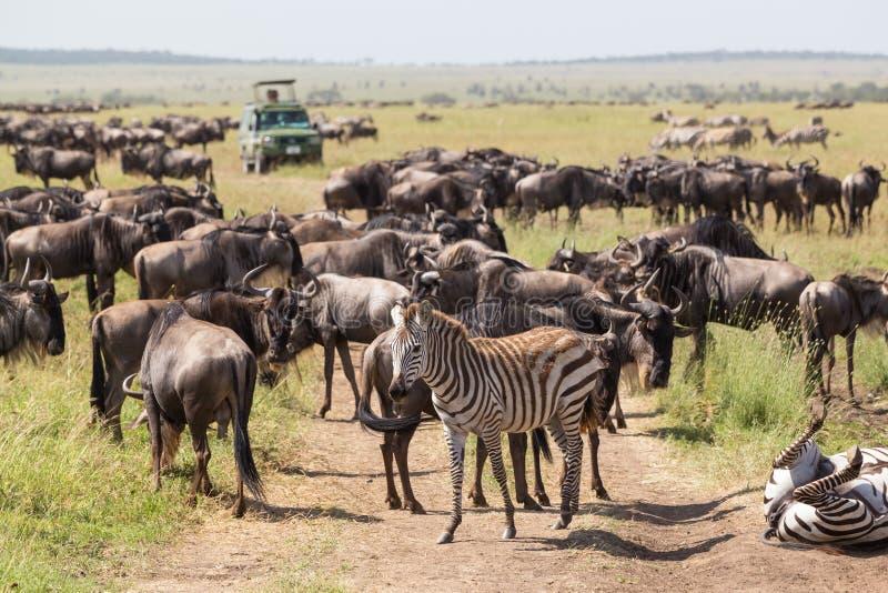 Gnu e zebras que pastam no parque nacional de Serengeti em Tanzânia, East Africa imagens de stock royalty free