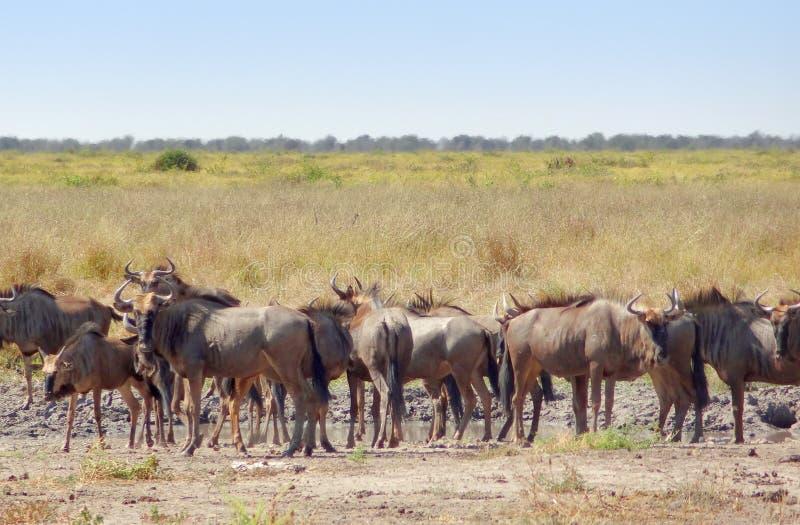 Gnu em Botswana imagens de stock royalty free