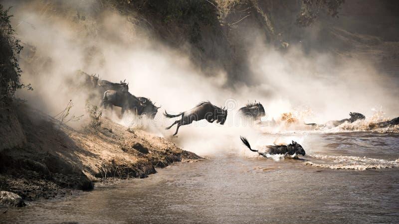 Gnu hoppar av tro in i Mara River arkivfoto