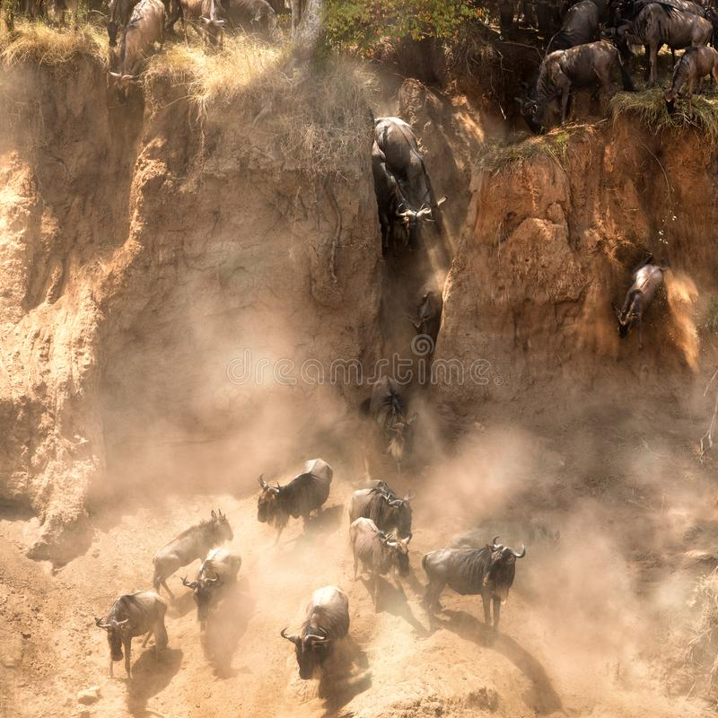Gnu hoppar från bankerna av Maraen royaltyfria bilder