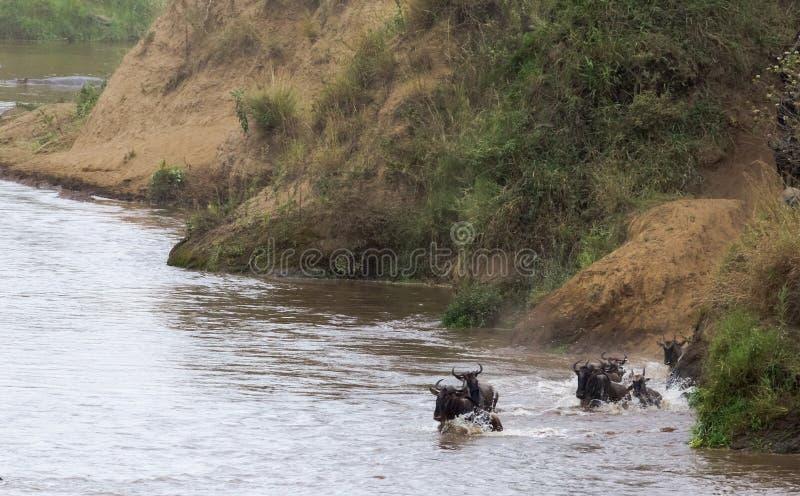 Gnu hoppar från den branta banken till floden Kenya Afrika royaltyfri bild