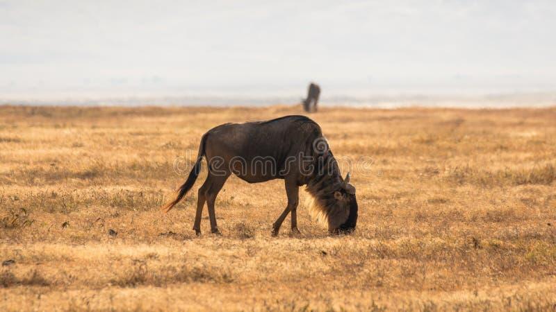 Gnu i afrikansk savannah, på Ngorongoro, Tanzania arkivfoton