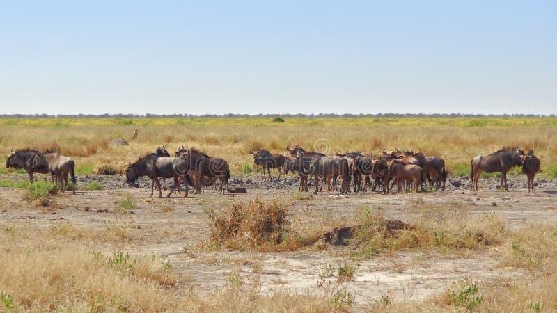 Gnu i Botswana royaltyfria foton