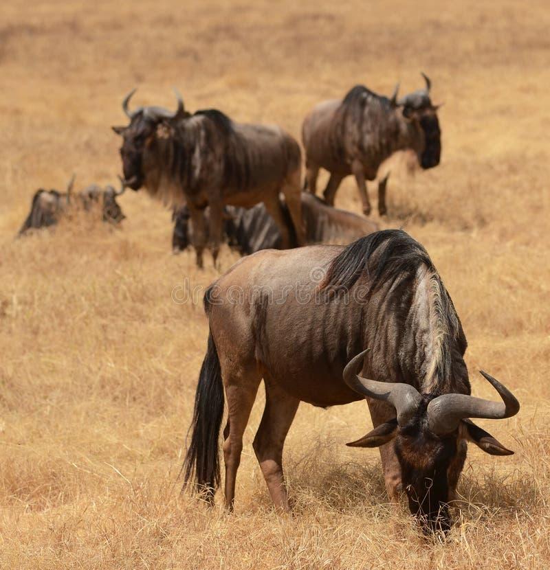 Gnu i den Ngorongoro krater arkivbild