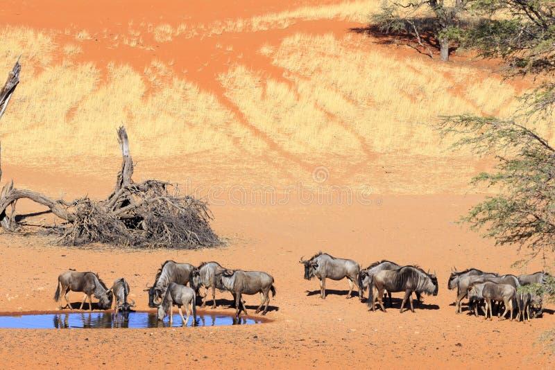 Gnu i Kalahari Namibia fotografering för bildbyråer