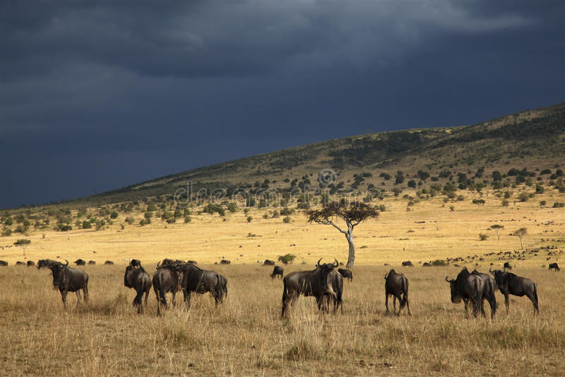 Gnu i masaien Mara arkivbild
