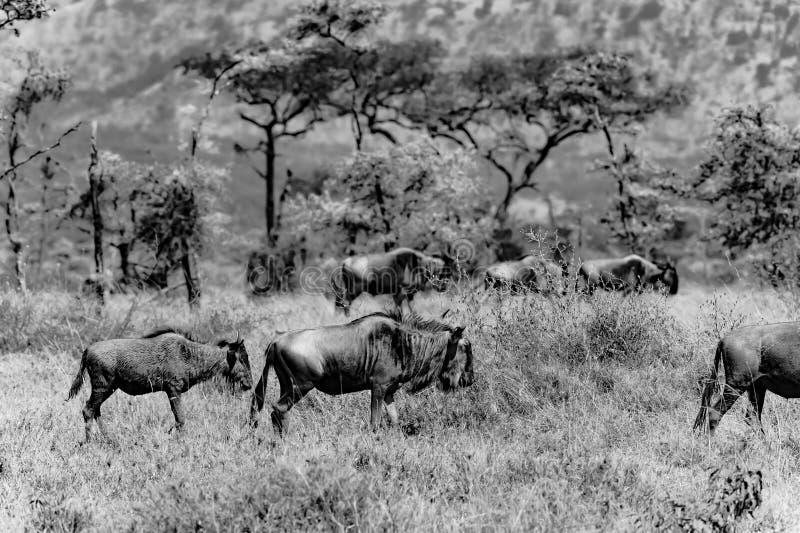Gnu gnu, i Serengeti, Tanzania, svartvitt fotografi royaltyfri foto