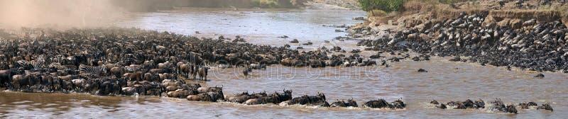 Gnu korsar den Mara floden stor flyttning kenya tanzania Masai Mara National Park royaltyfria bilder