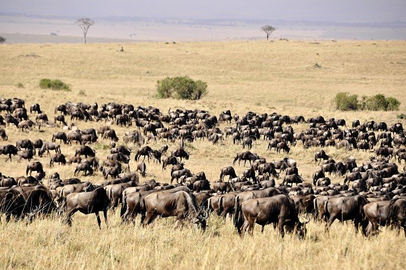Gnu in Masa-Mara-Safari in Kenia stockfoto
