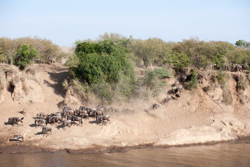 Gnu migracja zdjęcie stock
