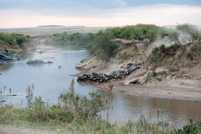 Gnu migracja zdjęcie royalty free