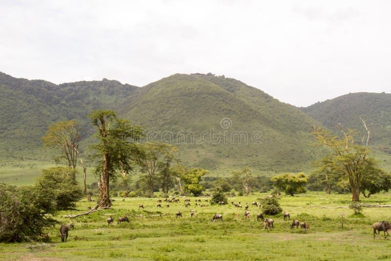 Gnu nel paesaggio del cratere di Ngorongoro, Tanzania immagini stock libere da diritti
