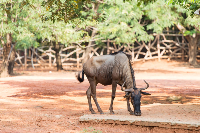 Gnu nello zoo immagini stock