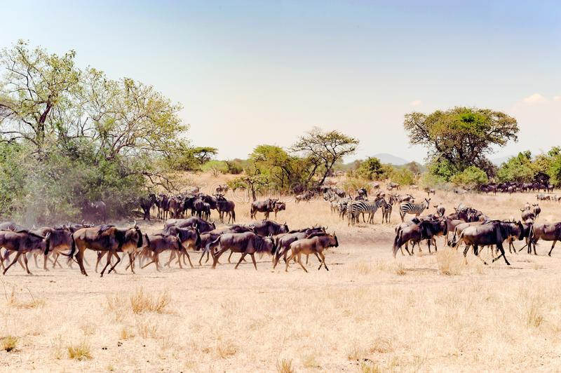 Gnu - gnu no grande tempo da migração no savana de Serengeti, Tanzânia, África imagem de stock