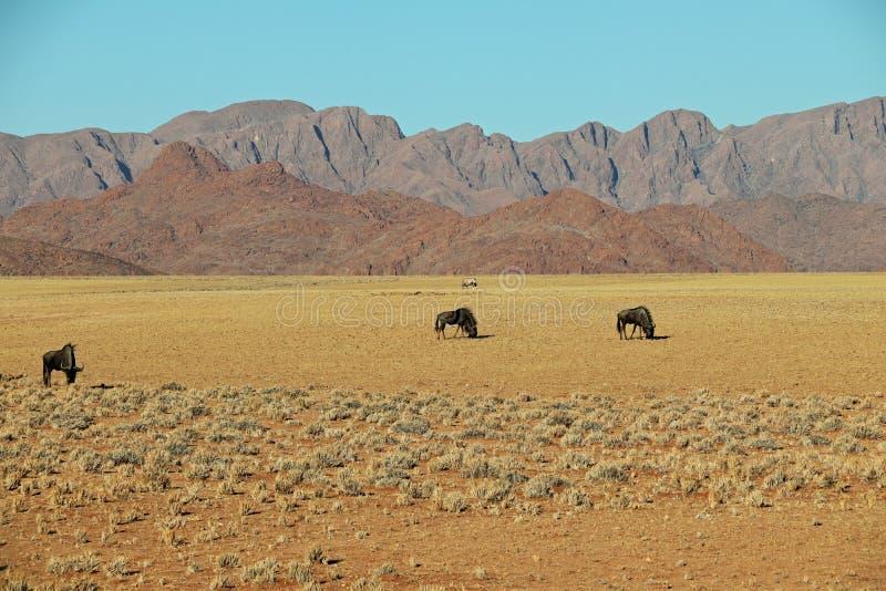 Gnu och oryxantilopgazella eller gemsbok i öken för de Namib nära patiens i Namibia arkivbild