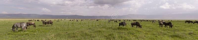Gnu och sebra i panorama, Ngorongoro krater, Tanzania royaltyfri bild