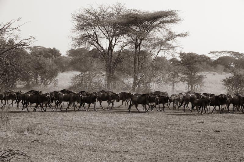 Gnu - gnu på stor flyttningstid i savann av Serengeti, Tanzania, Afrika fotografering för bildbyråer