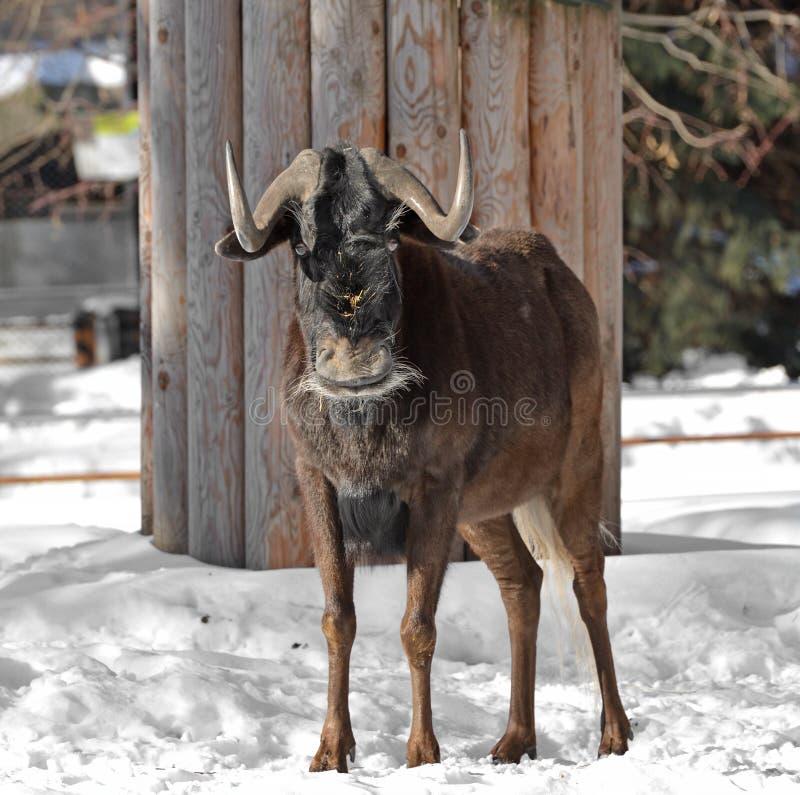 Gnu preto ou gnou branco-atado do Connochaetes do gnu foto de stock